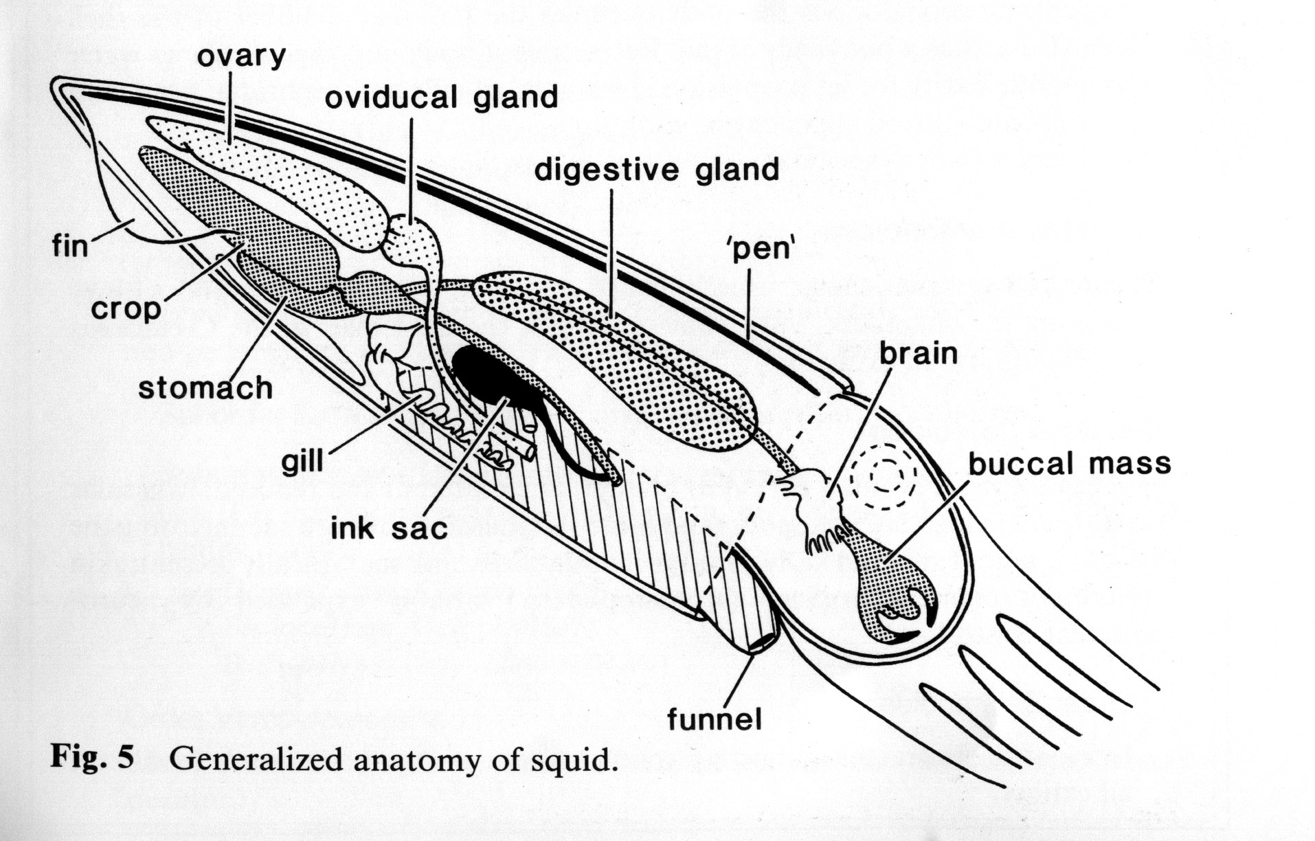 anatomy and physiology of a squid The squid is a unique aquatic mollusk with three hearts complete this lesson to learn what makes a squid stand out, and why it needs so many.